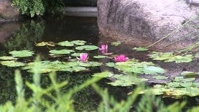 Three pink waterlily flowers.