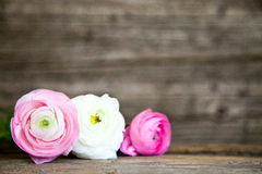 Three Pink and White Flowers with Wood Background. Three Pink and White Flowers Lying in a Row in front of Blurred Wooden Background with Copy Space Stock Image