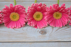 Three pink yellow  gerbera daisies in a border row on grey old wooden shelves background with empty copy space Royalty Free Stock Photo