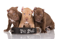 Three pit bull puppies with cut ears Royalty Free Stock Images