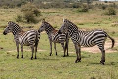Three Plains Zebra in the Masai Mara, Kenya, Africa stock image