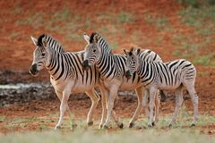 Plains zebras in natural habitat. Three plains zebras Equus burchelli in natural habitat, South Africa royalty free stock images