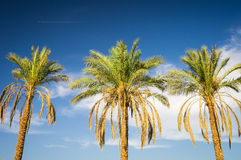 Three plam trees Stock Photography