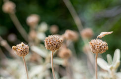 Three plants of dry flowers with a head of a box Stock Image