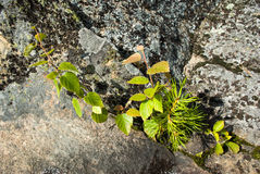 Three plants on a  rock. Birch, pine and poplar plants on a rock Stock Photo