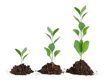 Three plants in soil Royalty Free Stock Photos