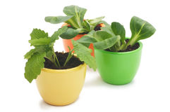 Three plants in varicolored ceramic cups. Royalty Free Stock Photo