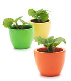 Three plants in varicolored ceramic cups. Royalty Free Stock Photography