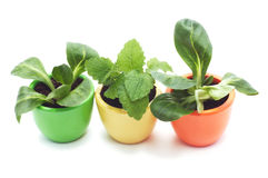 Three plants in varicolored ceramic cups. stock photo