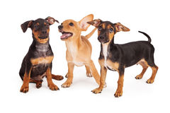 Three playful puppy siblings Stock Photo