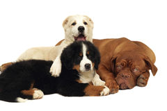 Three playing puppies. Royalty Free Stock Image