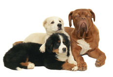 Three playing puppies. Stock Photos
