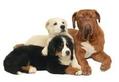 Three playing puppies. Stock Photos