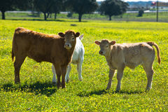 Three playmates. Calfs in a field near to Valdesalor, Caceres,  Extremadura, Spain Royalty Free Stock Photos