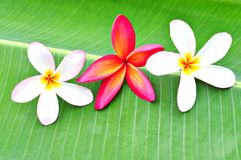 Three Plumeria on Banana Leaf Stock Image