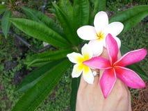 Three Plumeria Bouquet in Hand Stock Photography