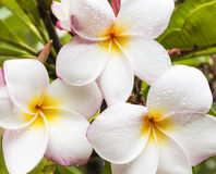 Three Plumeria Stock Image