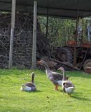 Three plump geese in a farm's courtyard Royalty Free Stock Image