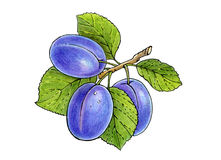 Three plums on a branch with leaves Royalty Free Stock Photos