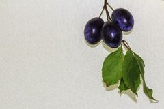 Three plums on a branch with leaves. Fresh ripe plums on the branch with leaves Stock Image