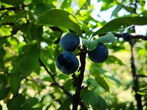 Three plums between tree branches royalty free stock photography