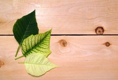 Three poinsettia leaves Royalty Free Stock Photography