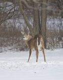 Three Point Buck Quartering View Stock Photography