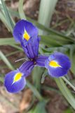 Three-pointed star of purple iris flower Royalty Free Stock Photo