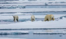 Three polar bears, female with two cubs walk on ice floe in Arctic. In Norway Royalty Free Stock Photography
