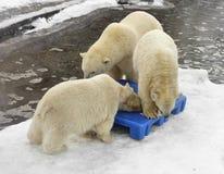 Three Polar Bears play Royalty Free Stock Images