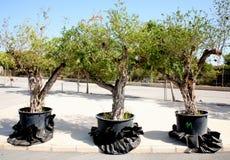 Three pomegranate trees Royalty Free Stock Image