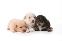 Three Pomeranian Newborn Puppies With Eyes Open Stock Photo