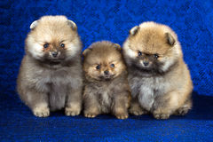 Three Pomeranian puppies age of 1,5 month over blue background Stock Photos