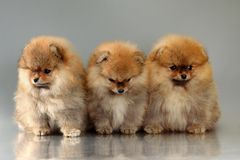 Three pomeranian puppies Stock Photos