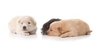 Three Pomeranian Puppies on White Royalty Free Stock Image