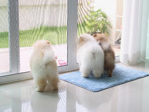 Three pomeranian puppy dogs in home Royalty Free Stock Image