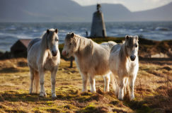 Three ponies. Ponies at lLlanddwyn on the island of Anglesey Stock Image