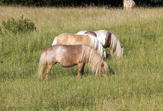 Three ponies on the meadow Stock Photo