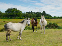 Three Ponies. Near Bratley View in the New Forest National Park Royalty Free Stock Photography