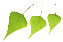 Three Poplar leaf Royalty Free Stock Images