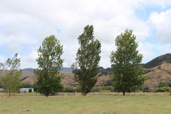 Three poplar trees. A wind break of three poplar trees on scenic farm Royalty Free Stock Images