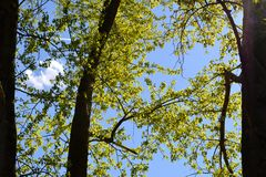 Three poplars in city park. Spring light green foliage. Nature in town Stock Image