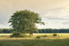 Three poplars in the meadows under the clouds Stock Photo