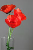 Three poppies Stock Images