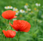 Three Poppies. With camomile in the background (selective focus on the poppies Royalty Free Stock Photography