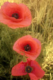 Three poppies. Poppies on the field Stock Images