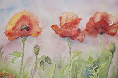 Three poppies in the grass Royalty Free Stock Image