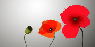 Three poppies Royalty Free Stock Images