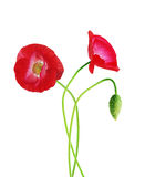 Three poppy Royalty Free Stock Images