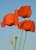 Three poppy flowers Royalty Free Stock Photography
